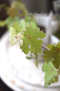 ヨーロッパブドウ・プルプレア くすんだ銅葉が大人可愛い!パーゴラに♡