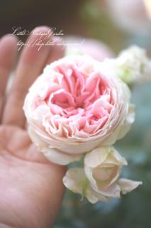 四季咲バラFL「パシュミナ」<br>コンパクトなピエール!薔薇大苗