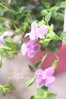 トレニア・カタリーナ「ピンクリバー」<br>可愛いピンクのお花