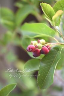 矮性ジューンベリー「カルフォルニア・リージェント」<br>甘くて美味しい♡春には満開秋には紅葉