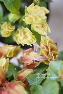 ベロペロネ・グッタータ 「エビーナ」 エビのようなお花が咲きます