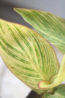 斑入りカンナ「ベンガルタイガー」<br>暑さに強くて丈夫!植えっぱなしOK!夏らしい花壇へ!