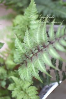 ニシキシダ「メタリカム」<br>メタリックな葉色!日陰向き!観葉にも♡大人シック