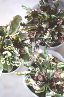 アジュガ「シシガシラ」日陰に強い!縮れ葉が珍しい!