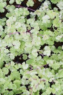斑入りグレゴマ「レッドステム」茎がマッドな赤い色!
