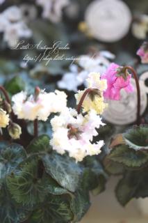 ガーデンシクラメン「ベリッシマ」<br>花付きが良く寒さに強い♡美しい貴婦人 稀少な生産終了品!