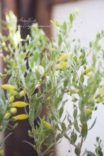 エレモフィラ・ウィンターゴールド<br>珍しい品種!真冬に咲く黄色い花!