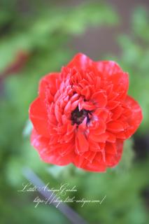八重咲きアネモネ「凛々花〜りりか〜」200枚花びら!3.5寸各色