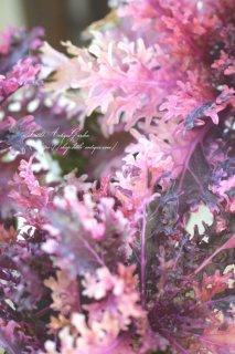 ハボタン神戸ジェンヌ「光子ポラリス」艶々リーフがシックな斑入り葉牡丹