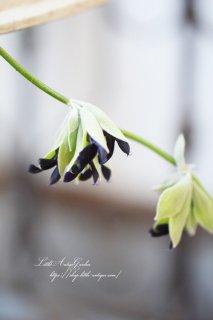 サルビア「ディスコロール」br>シルバーリーフに真っ黒なお花がとってもシック!
