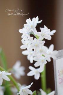 「プシュキニア・スキロイデス」植えっぱなしOK!透き通るような花びらの小花