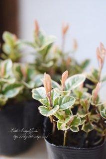 斑入りヤブコウジ 日本の気候に合っている植物です。日陰OK!