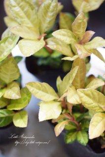 ヤブコウジ・ジャボ 日本の気候に合っている植物です。日陰OK!明るい色!