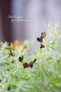 ロータス「ブラックムーニー」<br>風にそよぐちょっと変わったお花