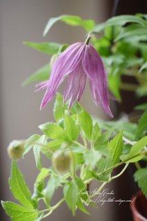 クレマチス「アルピナ(原種系)」<br>しなやかな羽ような花びら♡