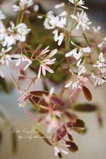 ユーフォルビア「ブレスレスブラッシュ」<br>チョコレートリーフにピンクのお花♡