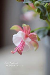 フクシア「プーニー・グリーン&ピンク」<br>柔らかピンクの優しいホクシア♡