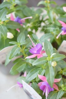 フクシア「プーニー・パープル&ピンク」<br>柔らかピンクの優しいホクシア♡