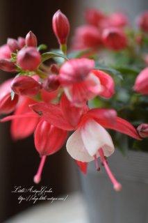 フクシア「プーニー・レッド&ホワイト」<br>柔らかピンクの優しいホクシア♡