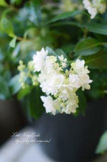 清楚なお花の「コガクウツギ」<br>毎年放任で咲きます!