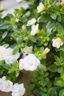 八重咲カリブラコア「ティフォシーダブル・ホワイト」