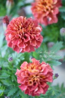 マリーゴールド「ストロベリーブロンド」多彩な花色になる