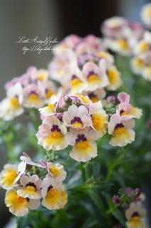 ネメシア・スイーツ「」<br>甘い香りの小花が沢山咲く