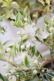 斑入りギンバイカ<br>別名マートル、ミルタス、祝いの木