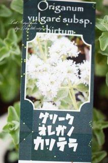 花オレガノ「グリークオレガノ・カルテラ」<br>白花品種!