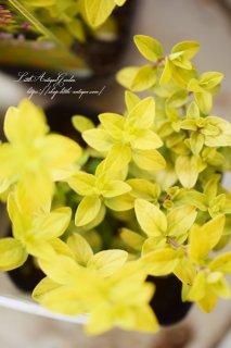 花オレガノ「オレガノ・ノートンゴールド」<br>ライム色の葉っぱが美しい品種です