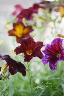 サルピグロシス「ロイヤルチョコレート」などMIX<br>サテンのような光沢で色が変わる
