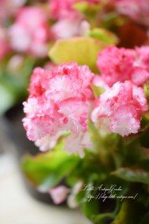 八重ベゴニア・センパフローレンス「ココナッツアイス」<br>グラデーションがかかる花が美しい品種