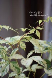 斑入りアメリカヅタ「バージニアクリーパー」 観葉植物としても!