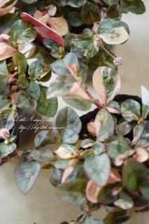 ポリゴナム・バリエガータ<br>こぼれ種で毎年咲く斑入り