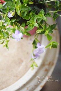 トレニア・カタリーナ「アイスリバー」<br>ライトブルーが美しい品種