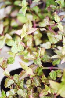 斑入りトレニア「ブルーインパルス」<br>ライムカラーの葉っぱとパープルブルーのお花
