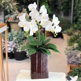 胡蝶蘭-コチョウラン-ホワイト3本立ち
