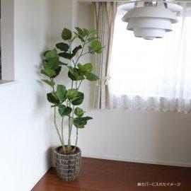 観葉植物ウンベラータ165cm