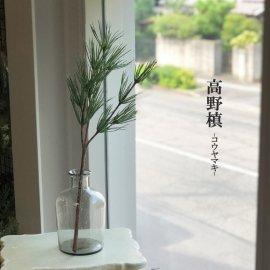水替え不要、お供えに:高野槙_コウヤマキ