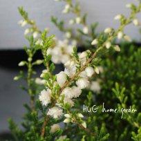 八重咲きエリカ カルーナ 『ブルガリス ホワイト』