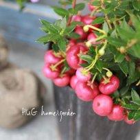 渋い色が魅力ペルネッティア『レッド』ー真珠の木ー
