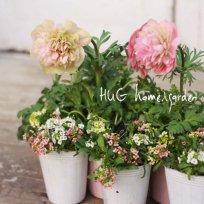 HUG garden 花苗set アネモネ&アリッサム