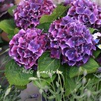 紫陽花『カルメン』 秋色紫陽花品種