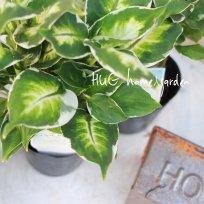 観葉植物 ディフェンバキア『クールビューティー』