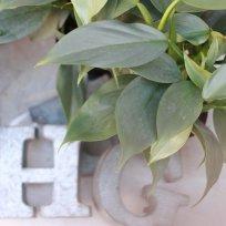 観葉植物 フィロデンドロン『シルバーメタル』