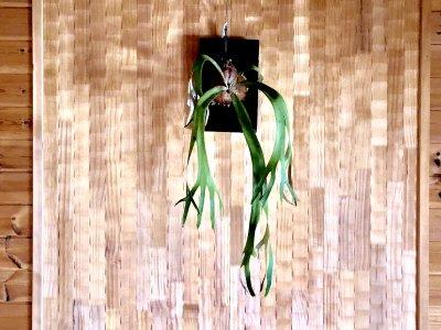 コウモリラン ウィリンキー Wild Bali