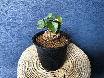 塊根植物 アフリカ亀甲竜
