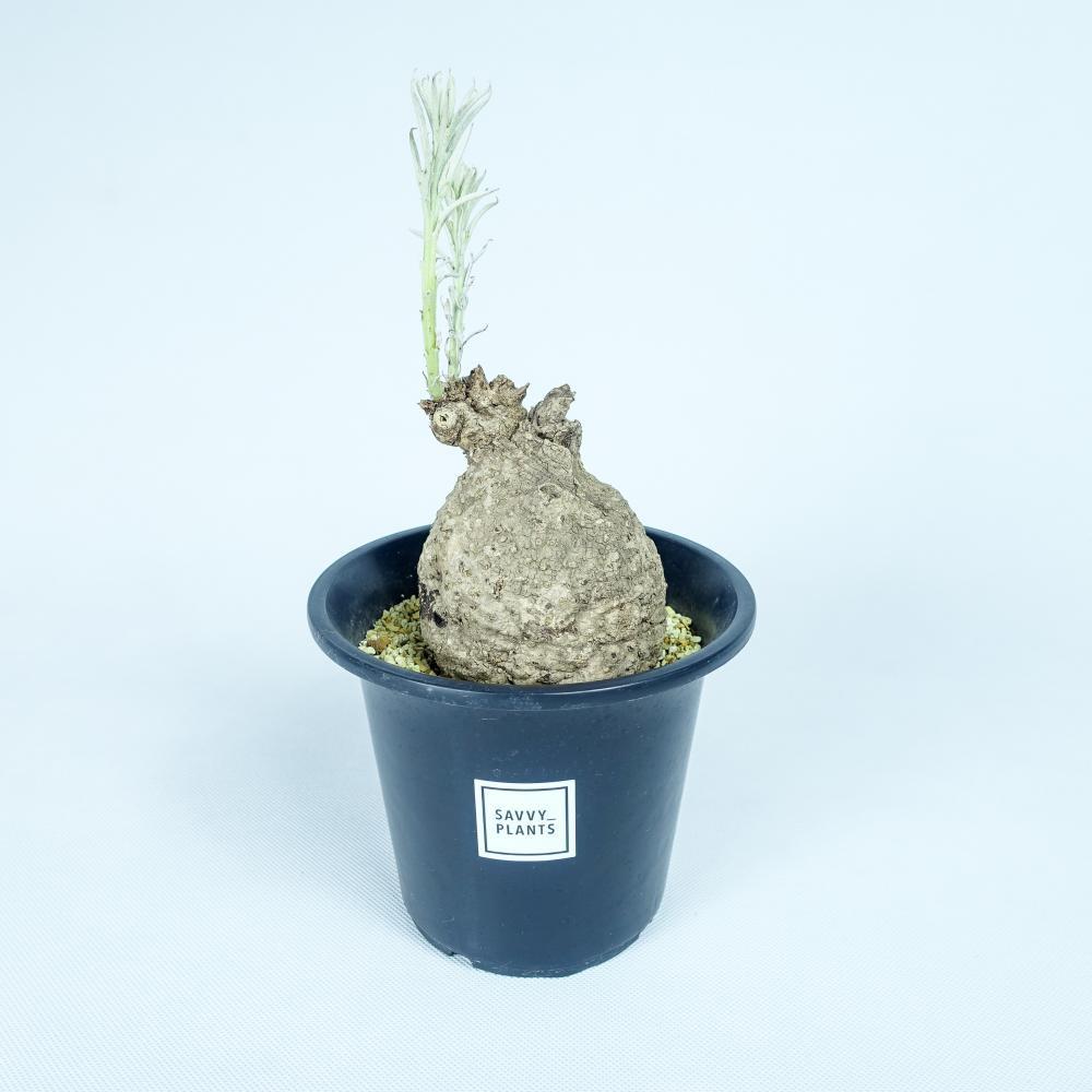 イポメア・ロンギチューバ(類縁種)