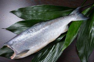 【チリ産】 中塩銀鮭1尾(頭なし)2.5kg