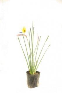 黄色花中間種開花株